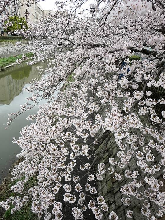2017-04-07_1226_桜・庄下川_IMG_9212_s.JPG