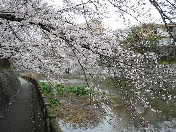 2017-04-07_1230_桜・庄下川_IMG_9217_s.JPG