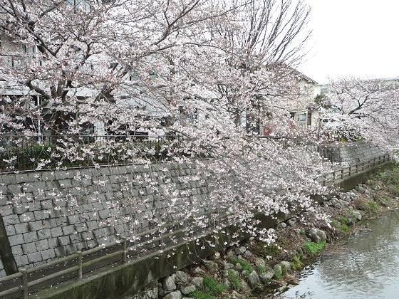 2017-04-07_1235_桜・庄下川_IMG_9237_s.JPG