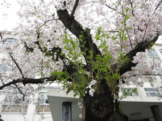 2017-04-09_0902_桜・園田学園・若葉_IMG_9244_s.JPG