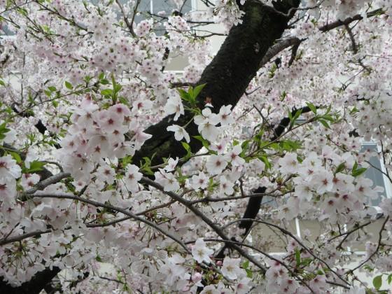 2017-04-09_0902_桜・園田学園・若葉_IMG_9245_s.JPG