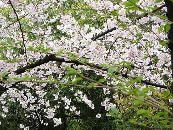 2017-04-09_0944_桜・西公園・若葉_IMG_9289_s.JPG
