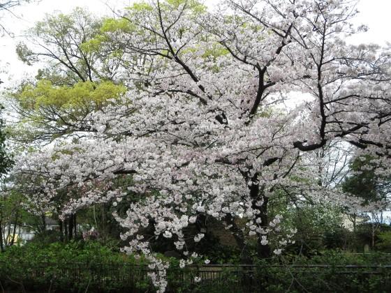 2017-04-09_0947_桜・西公園_IMG_9295_s.JPG