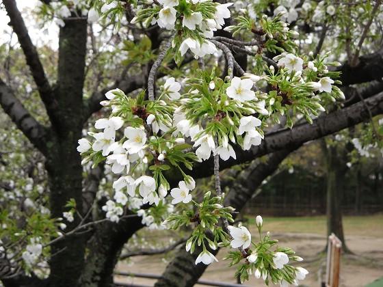 2017-04-09_0955_ヤマザクラ・西公園_IMG_9307_s.JPG