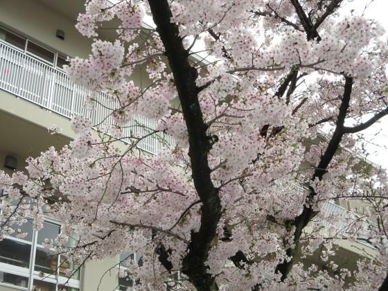 2017-04-09_1004_桜・小学校_IMG_9318_s.JPG