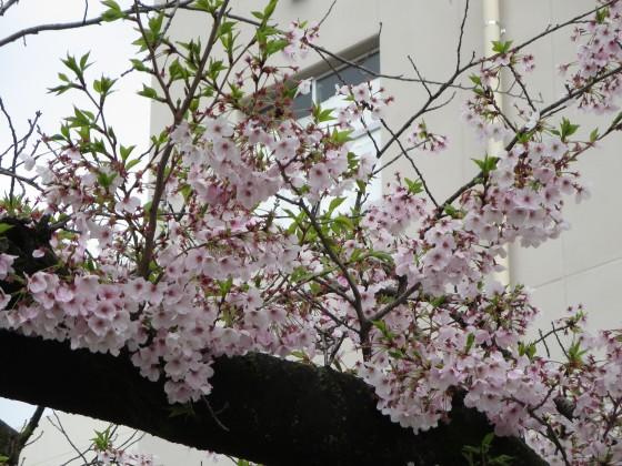 2017-04-09_1004_桜・小学校・若葉_IMG_9317_s.JPG