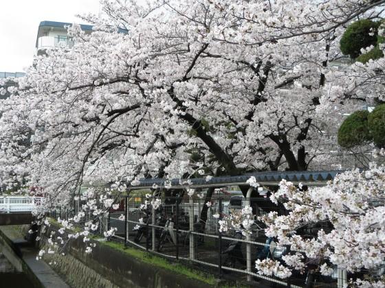 2017-04-09_1008_桜・産業道路_IMG_9327_s.JPG