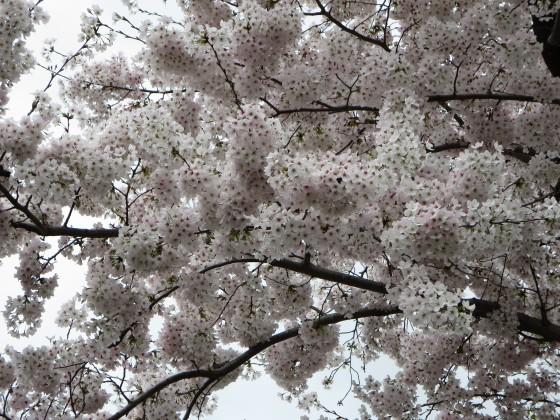 2017-04-09_1011_桜_IMG_9334_s.JPG