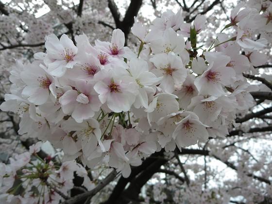 2017-04-10_0945_桜・産業道路_IMG_9339_s.JPG