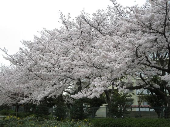 2017-04-10_1014_桜・丸橋公園_IMG_9359_s.JPG