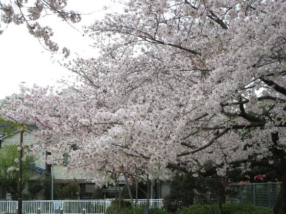 2017-04-10_1015_桜・丸橋公園_IMG_9363_s.JPG