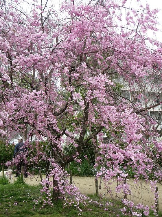 2017-04-10_1019_枝垂れ桜・丸橋公園_IMG_9372_s.JPG