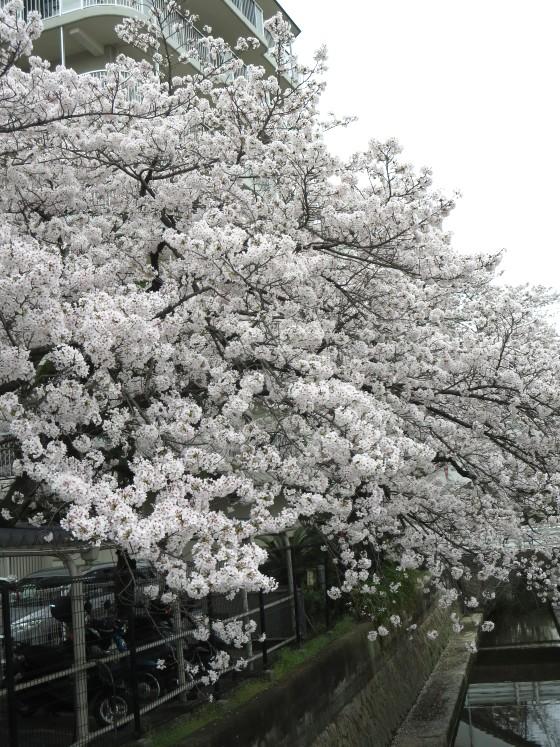 2017-04-10_1049_桜・産業道路_IMG_9378_ts.JPG