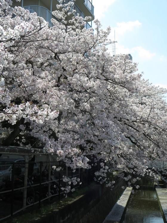 2017-04-13_1101_サクラ・産業道路_IMG_9410_s.JPG