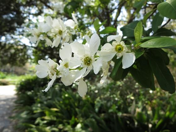 2017-04-13_1110_リキュウバイ・西公園_IMG_9422_s.JPG