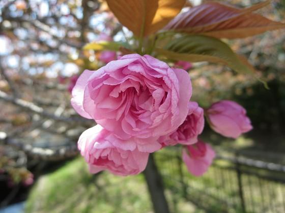 2017-04-13_1120_八重桜・西公園_IMG_9435_s.JPG