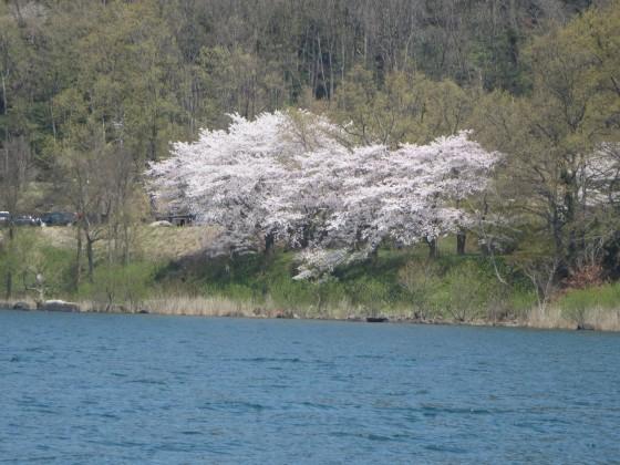 2017-04-14_1231_湖岸道路沿い水ケ浜のサクラ_IMG_9491_s.JPG