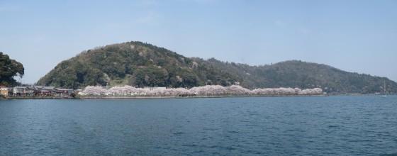 沖島漁港のサクラ