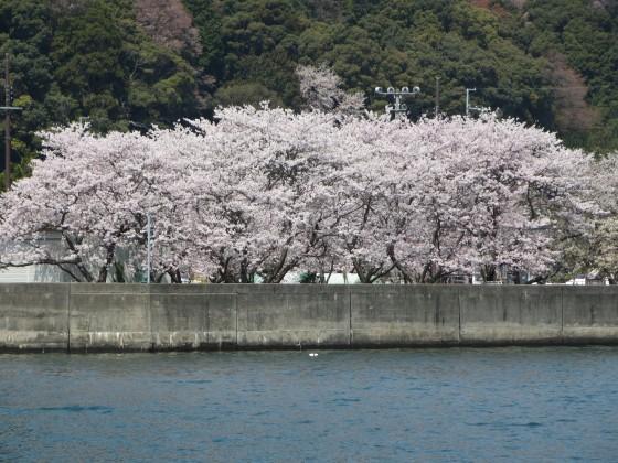 2017-04-14_1256_沖島漁港のサクラ_IMG_9517_s.JPG