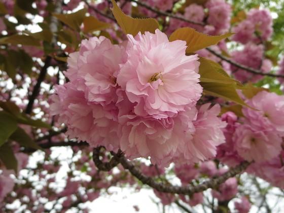 2017-04-20_1043_ヤエザクラ_IMG_9653_s.JPG