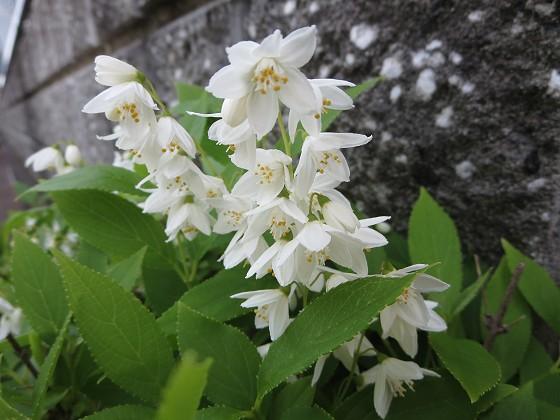 2017-04-28_1038_ヒメウツギ_IMG_9789_s.JPG