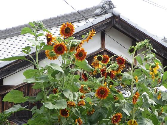 2017-07-02_0940_ヒマワリ_IMG_1116_s.JPG