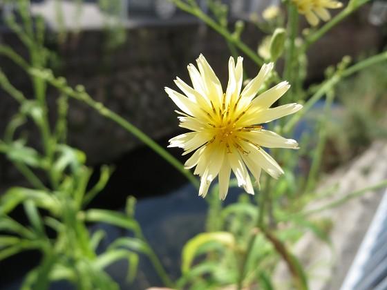 2017-08-27_0901_アキノノゲシ_IMG_1555_s.JPG