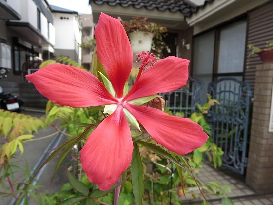 2017-09-06_1558_モミジアオイ_IMG_1671_s.JPG