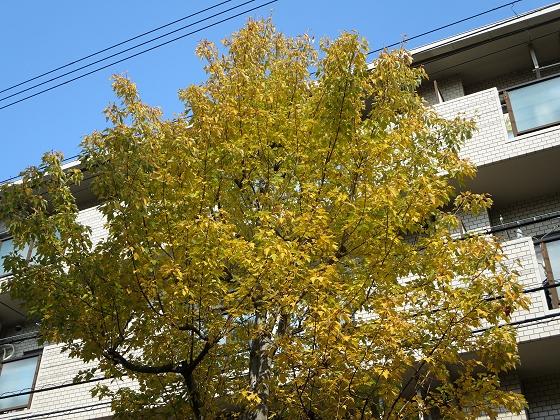 2017-11-05_1025_トウカエデ_IMG_2447_s.JPG