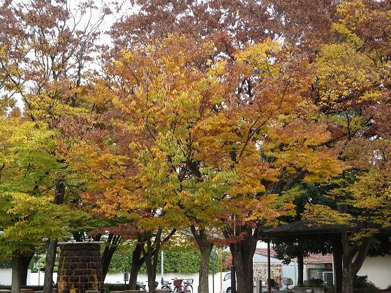 2017-11-20_1425_ケヤキ_IMG_2906_s.JPG