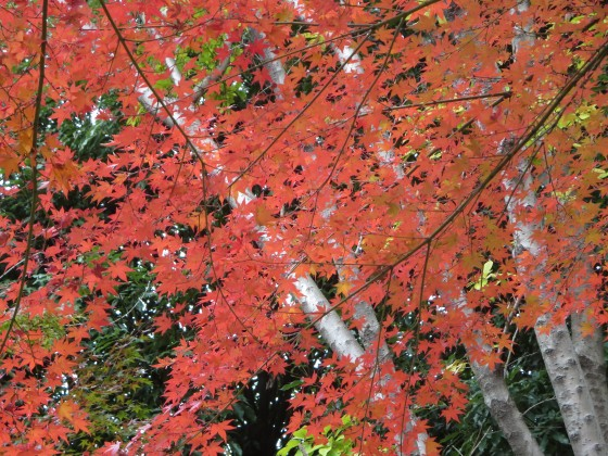 2017-11-21_1209_ヤマモミジ_IMG_2981_s.JPG