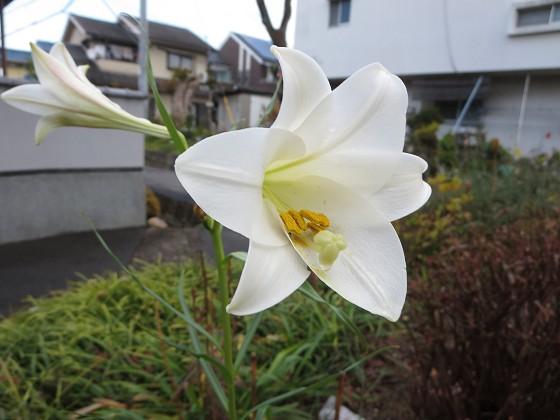 2017-12-11_0929_タカサゴユリ_IMG_3391_s.JPG