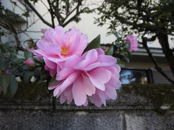 2018-01-01_1104_サザンカ_IMG_3594_s.JPG