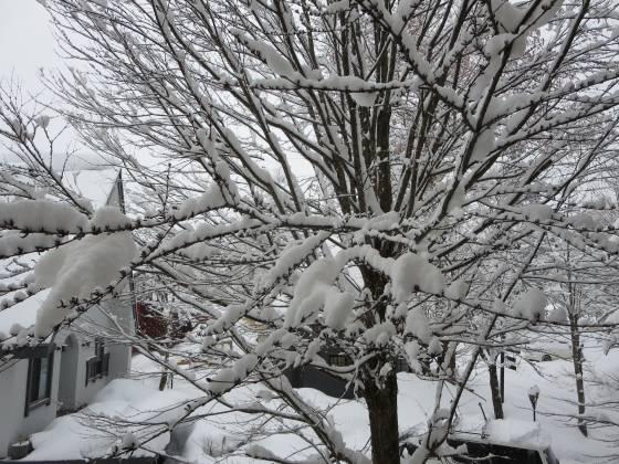 2018-01-10_0803_部屋の窓から見た樹木の積雪_IMG_3673_s.JPG