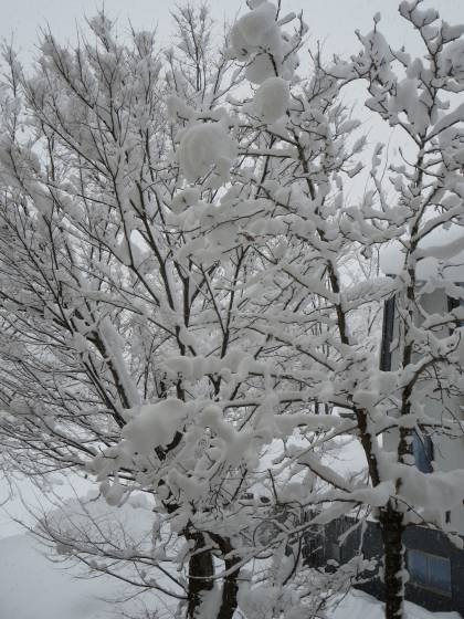 2018-01-11_0807_窓の外の木の雪_IMG_3688_s.JPG