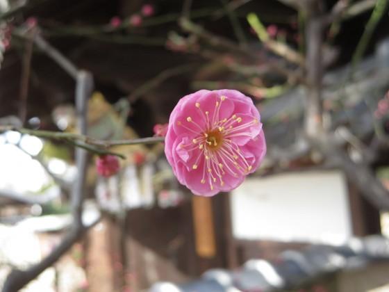 2018-02-03_1125_紅梅・広済寺_IMG_4111_s.JPG