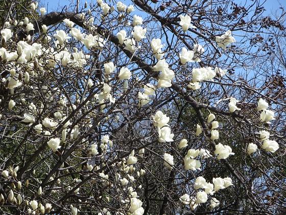 2018-03-17_1220_ハクモクレン_IMG_4670_s.JPG