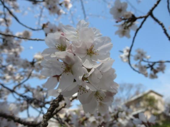 2018-03-27_1244_庄下川サクラ_IMG_4734_s.JPG