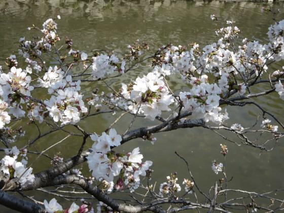 2018-03-27_1247_庄下川サクラ_IMG_4736_s.JPG