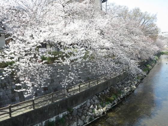 2018-03-27_1250_庄下川サクラ_IMG_4745_s.JPG