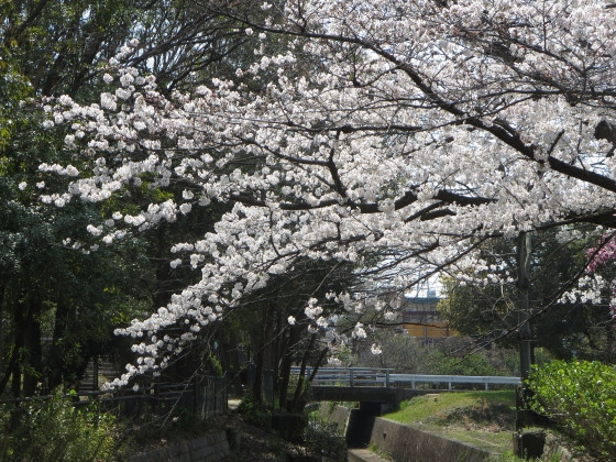 2018-03-28_1112_西公園サクラ_IMG_4797_s.JPG