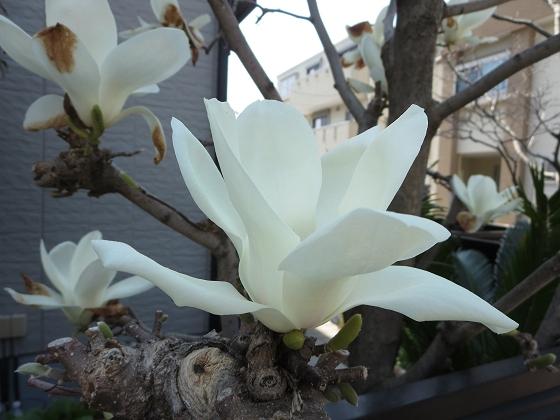 2018-03-28_1143_ハクモクレン_IMG_4816_s.JPG