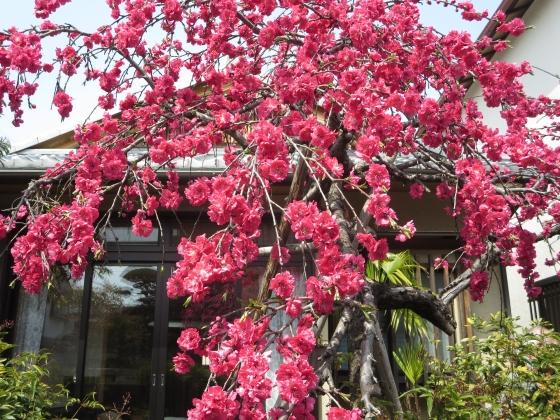 2018-03-29_1307_シダレウメ_IMG_4841_s.JPG