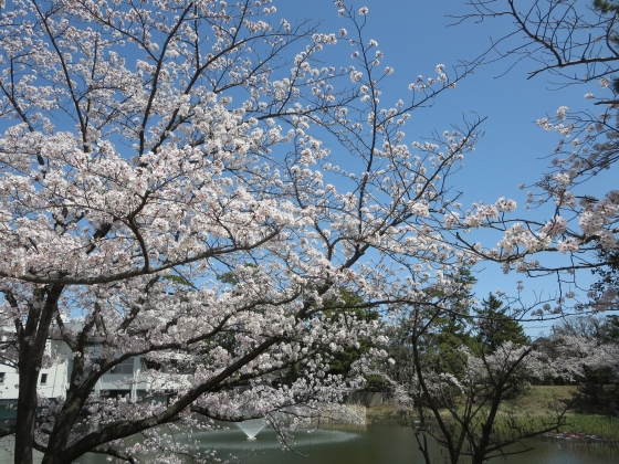 2018-03-30_1224_夙川サクラ_IMG_4851_s.JPG