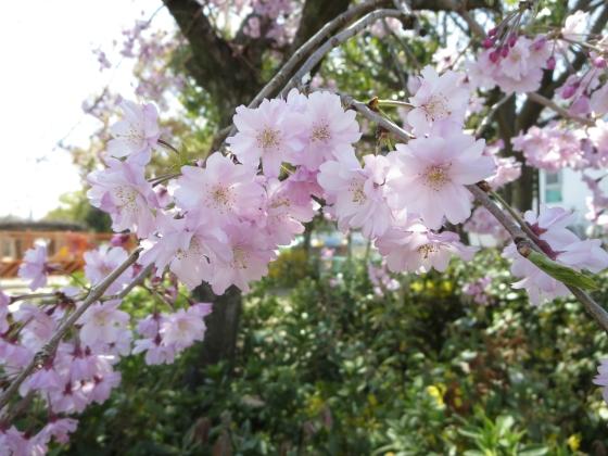 2018-03-30_1300_建石公園シダレザクラ_IMG_4874_s.JPG