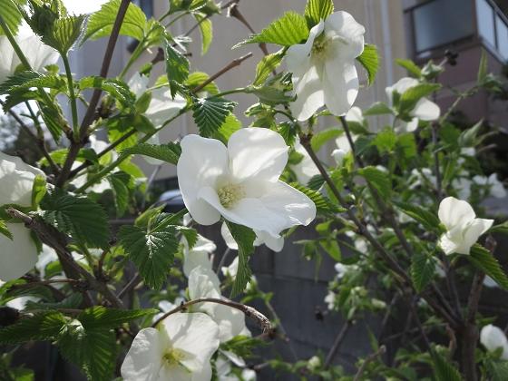 2018-04-02_0937_シロヤマブキ_IMG_0004_s.JPG