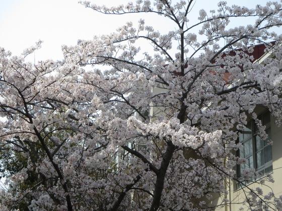 2018-04-02_1002_上坂部小学校染井吉野_IMG_0028_s.JPG