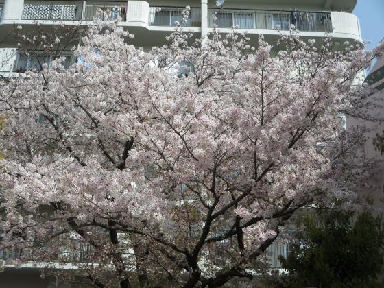 2018-04-02_1004_レオ保育園染井吉野_IMG_0029_s.JPG