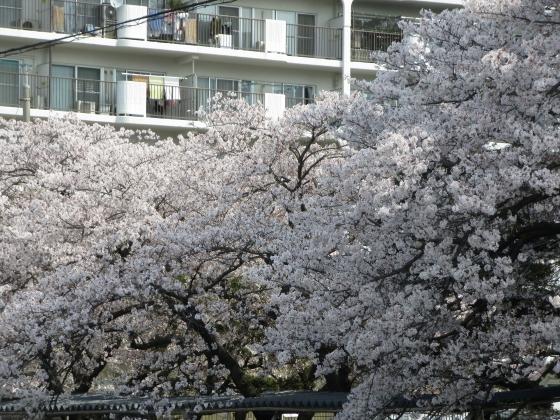 2018-04-02_1006_大阪ガス社宅染井吉野_IMG_0031_s.JPG