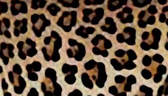 Leopard4_e_trim_e1.jpg